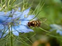 在一朵蓝色花的黄蜂 免版税库存照片