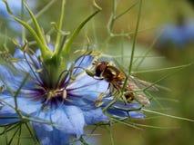 在一朵蓝色花的黄蜂 库存图片