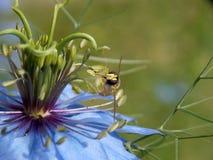 在一朵蓝色花的黄蜂 免版税图库摄影