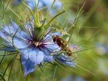 在一朵蓝色花的黄蜂 免版税库存图片