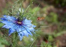 在一朵蓝色花的黄蜂 图库摄影