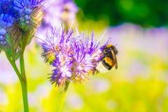 在一朵蓝色花附近的一只土蜂 库存照片