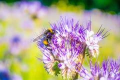 在一朵蓝色花附近的一只土蜂 免版税库存图片