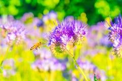 在一朵蓝色花附近的一只蜂 库存图片