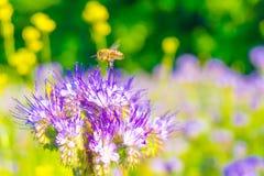 在一朵蓝色花附近的一只蜂 免版税库存照片