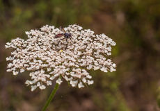 在一朵野胡萝卜植物花的食虫虻 库存图片