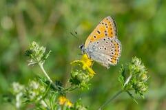 在一朵野花的公用蓝色蝴蝶 免版税库存照片