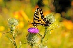 在一朵野花的美丽的蝴蝶与刺 免版税库存图片
