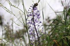 在一朵野花的词根的小蓝色花 库存图片
