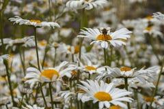 在一朵雏菊的一只蜂在许多戴西的领域 免版税库存照片