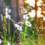 在一朵雏菊的红色蝴蝶在夏天森林里 免版税库存图片
