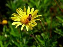 在一朵雏菊的蜂在水晶宫庭院里在波尔图 库存照片