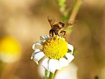 在一朵雏菊的蜂春天 库存照片