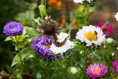 在一朵雏菊的蝴蝶在花 库存图片