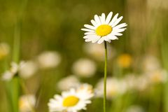 在一朵雏菊的选择聚焦在一个领域在春天 图库摄影
