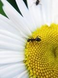 在一朵雏菊的黑蚂蚁在夏天 免版税库存图片