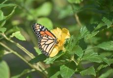 在一朵黄色庭院花的俏丽的黑脉金斑蝶 免版税图库摄影