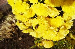 在一朵黄色翠菊花的蜂 前温暖的好日子 库存照片