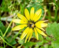 在一朵黄色花的一个臭虫 免版税图库摄影