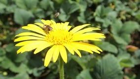 在一朵黄色花的两只昆虫 影视素材