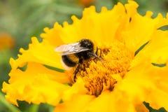 在一朵黄色花的土蜂收集花粉,选择聚焦 免版税库存照片