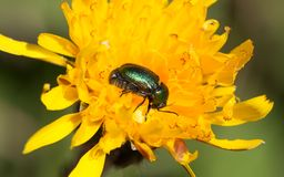 在一朵黄色花的小绿色臭虫 免版税图库摄影