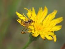 在一朵黄色花的小蜘蛛 库存图片
