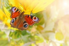 在一朵黄色花的欧洲孔雀铗蝶Inachis io 复制空间 库存照片