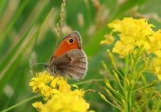 在一朵黄色花的美丽的欧洲蝴蝶-自然秀丽  库存图片