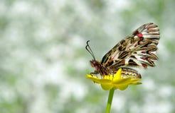 在一朵黄色花的美丽的蝴蝶 春天蝴蝶 南部的花彩 复制空间 库存图片