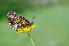 在一朵黄色花的美丽的蝴蝶 春天蝴蝶 南部的花彩 复制空间 免版税库存图片
