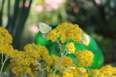在一朵黄色花的美妙的蝴蝶 图库摄影
