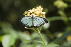 在一朵黄色花的蓝色蝴蝶 库存图片