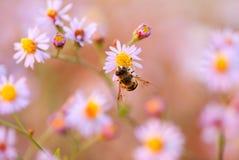 在一朵黄色花的蜂春黄菊 库存照片