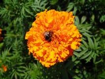 在一朵黄色花的蜜蜂 图库摄影