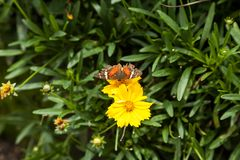 在一朵黄色花的蝴蝶 免版税图库摄影
