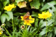 在一朵黄色花的蝴蝶 图库摄影