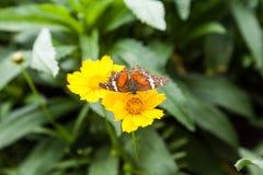 在一朵黄色花的蝴蝶 库存照片