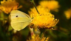 在一朵黄色花的黄色蝴蝶 免版税库存图片