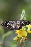 在一朵黄色花的黑白蝴蝶 库存图片