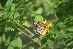 在一朵黄色花的黑脉金斑蝶在庭院里 库存图片