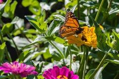 在一朵黄色花的黑脉金斑蝶 免版税库存照片