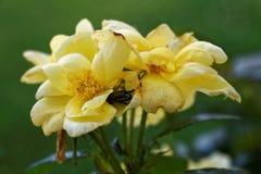 在一朵黄色花里面的一只甲虫 库存图片