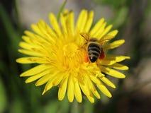 在一朵黄色蒲公英花的蜂收集花粉的 免版税图库摄影