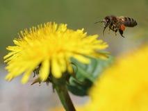 在一朵黄色蒲公英花的蜂收集花粉的 免版税库存图片