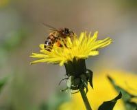 在一朵黄色蒲公英花的蜂收集花粉的 图库摄影