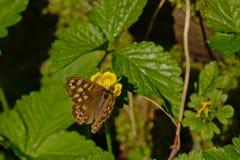 在一朵黄色野花的有斑点的木蝴蝶- Pararge aegeria 库存照片