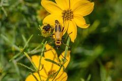 在一朵黄色野花的黄色臭虫 免版税图库摄影