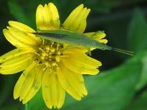 在一朵黄色雏菊家庭花的蚂蚱 免版税库存照片