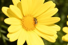 在一朵黄色雏菊的臭虫 免版税库存照片